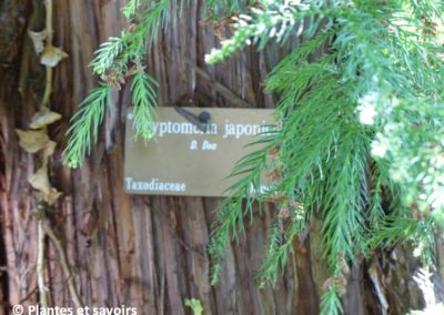 Cryptomeria japonica arbre