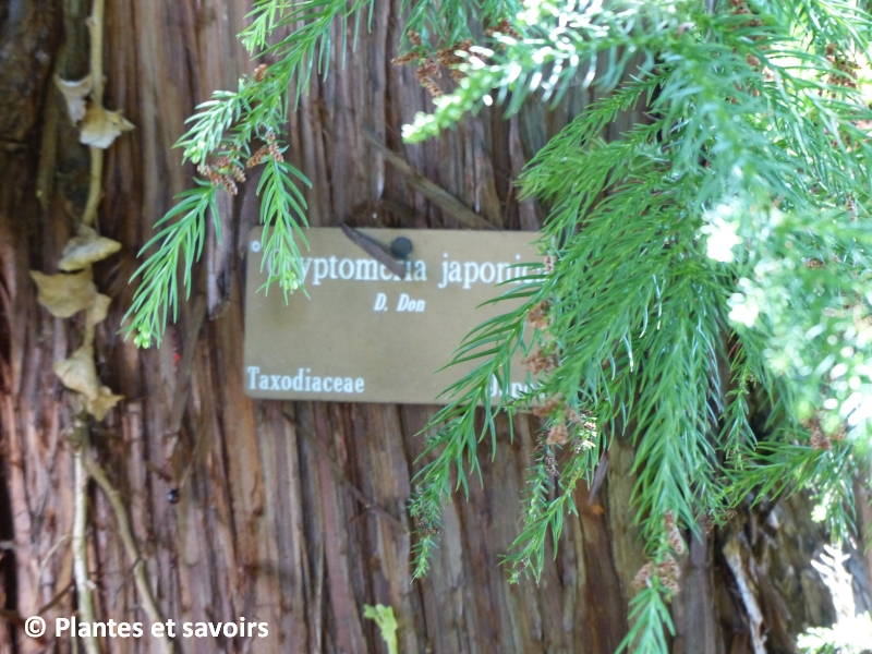 Cryptomeria japonica, usage médicinal à l'île de la Réunion