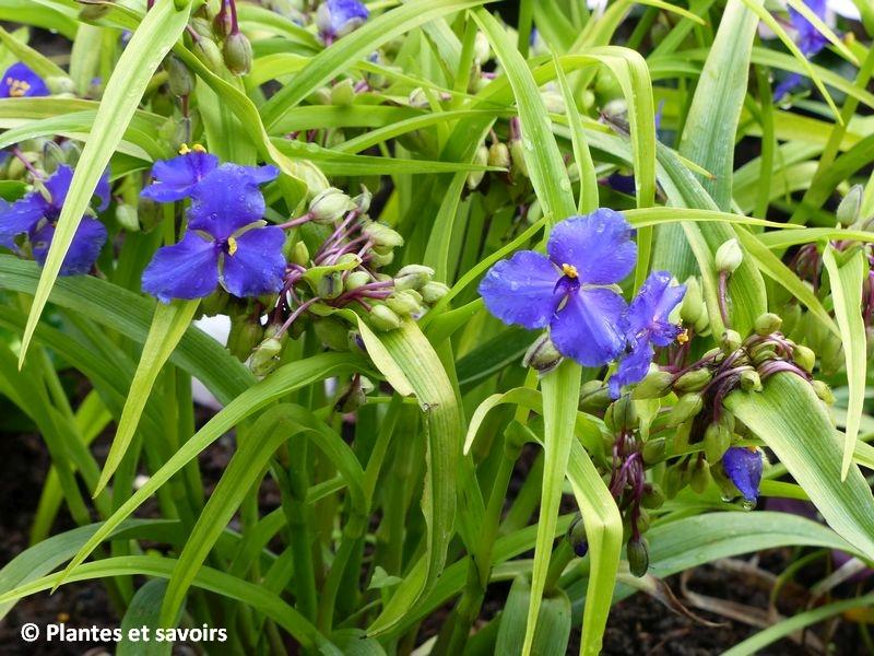 Misère (Tradescantia virginiana)_plante2