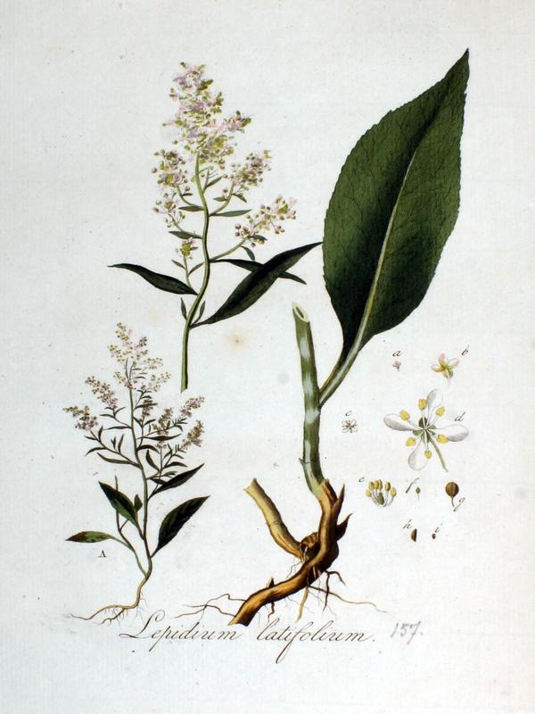 Grande passerage (Lepidium latifolium) feuilles