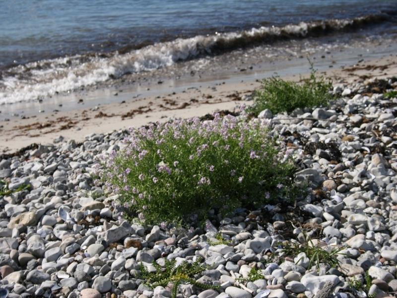 Grande passerage (Lepidium latifolium) sur rivage