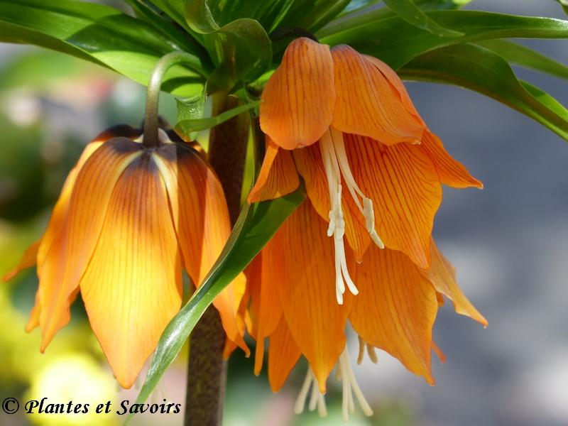 Couronne impériale (Fritillaria imperialis)